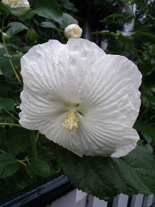 Rain on flower 092709