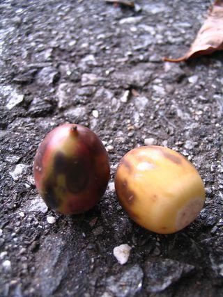 Tiger acorns 091410