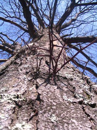 Tree at DeCordova 041909