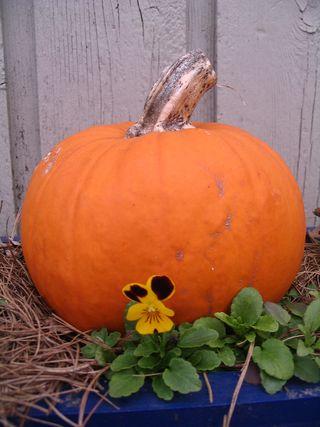 Pansy pumpkin 111510