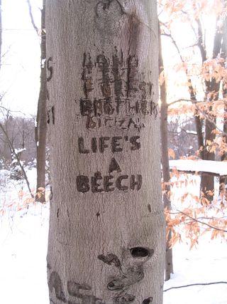 Beech tree 011511