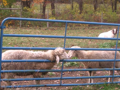 Kissing sheep 102810