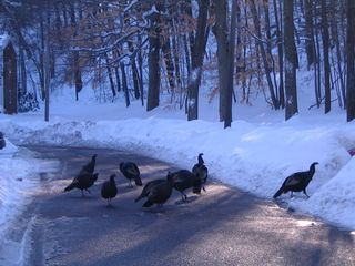 More turkeys 020311
