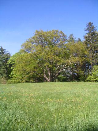 Codman farm tree 051311