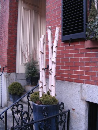 Birches in flowerpot.jpg