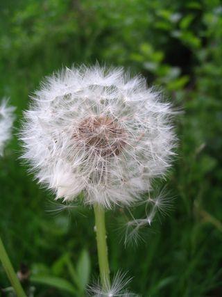 White dandelion 052211