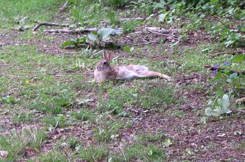 Lounging rabbit 052411