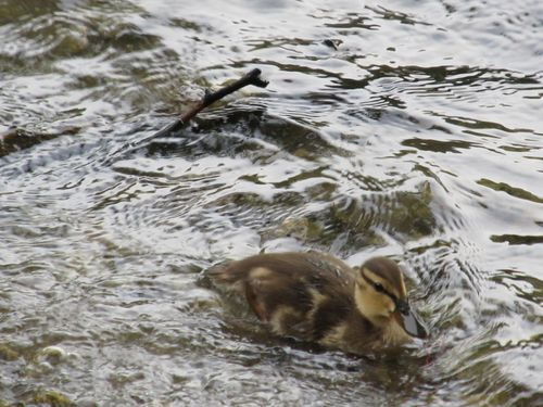 Duckling jamaica pond 080611
