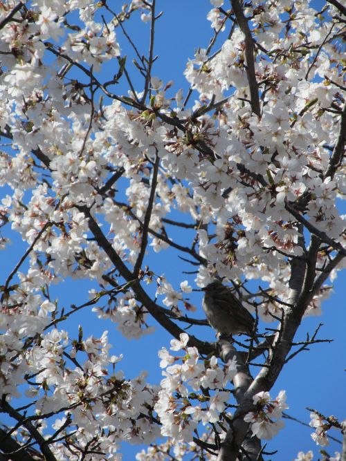 Sparrow blossoms 040612
