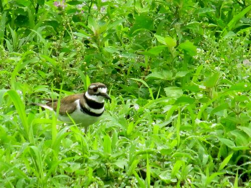 Killdeer 060312
