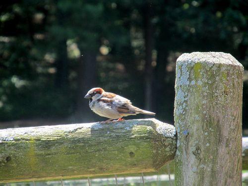 House Sparrow 060312