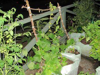 Cucumber trellis 072812