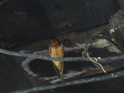 Barn Swallow 060312