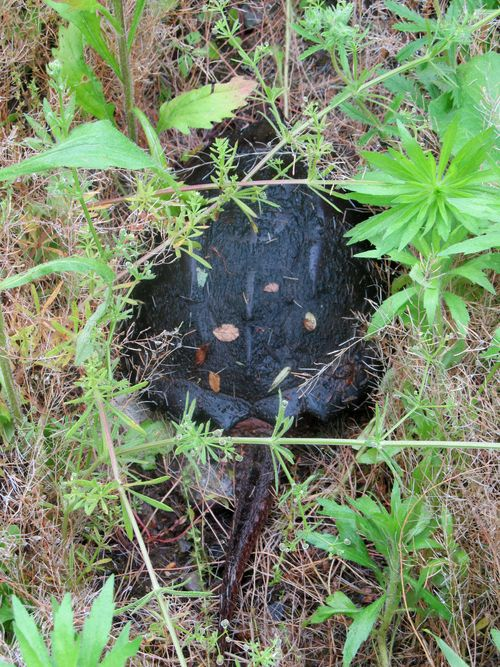Snapping turtle 060312
