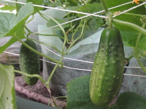 Cukes for pickling 080412