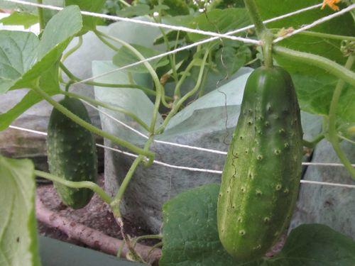 Cukes for pickling 080412