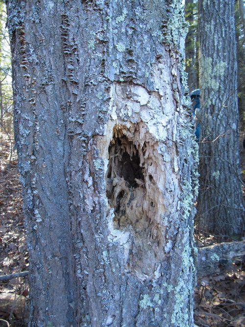 Woodpecker hole estabrook 020213