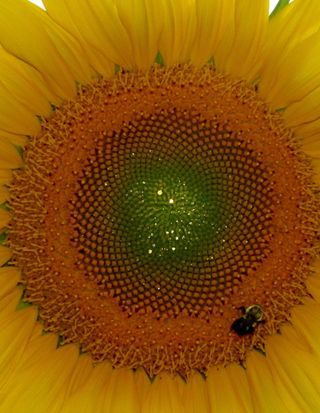 Bee sunflower 082712