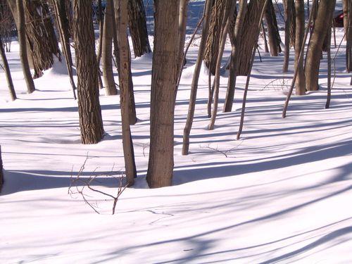 Trees snow 012211