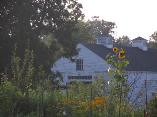 Codman sunflower 071312