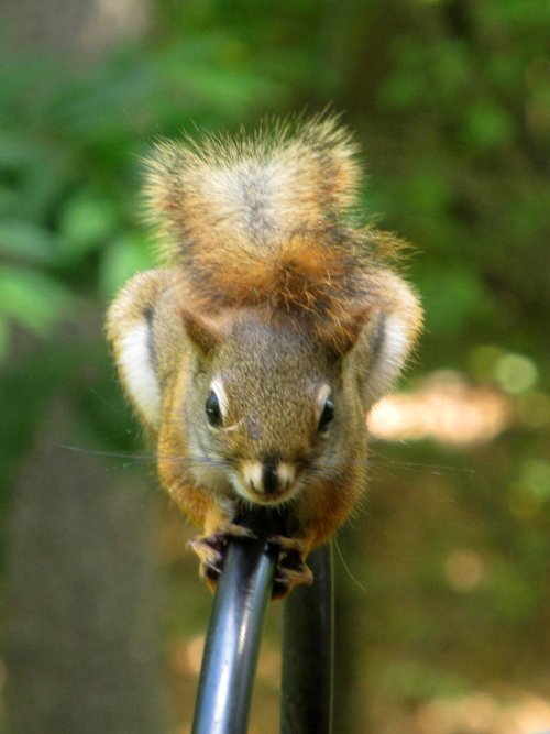 Squirrel headon